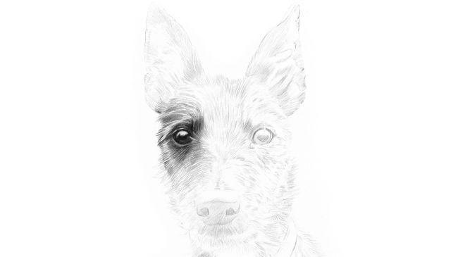 Рисуем портрет собаки карандашом - шаг 2