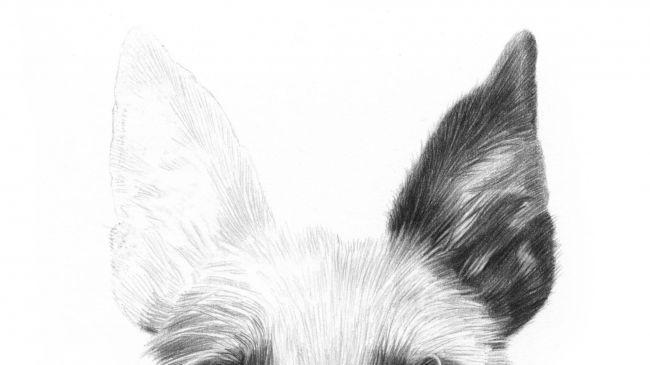 Рисуем портрет собаки карандашом - шаг 4