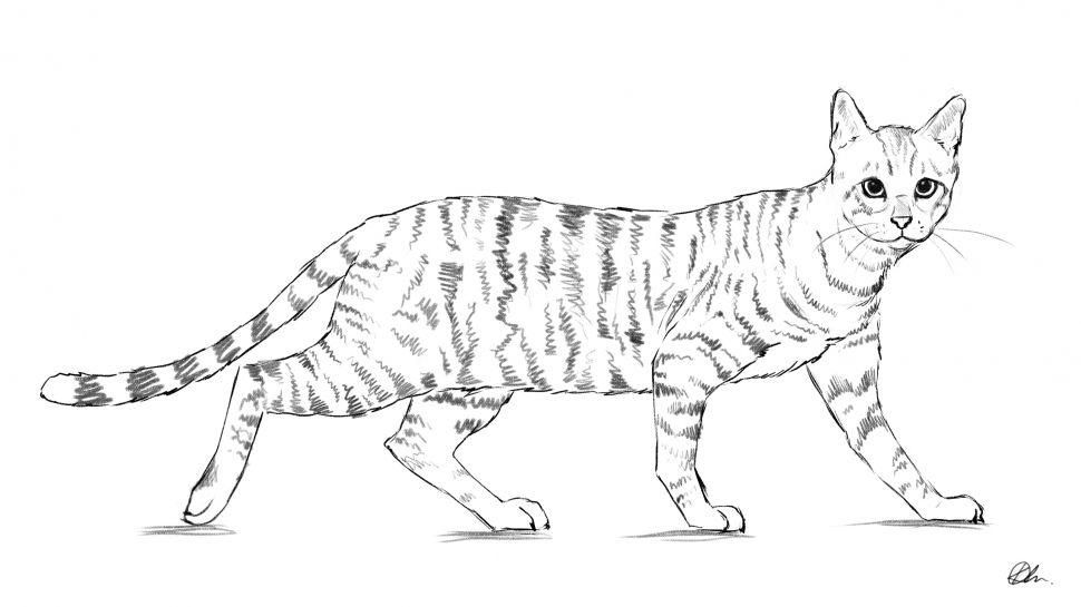 бенгальский кот картинки раскраски покоряет