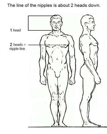 Линия сосков находится на расстоянии примерно двух голов от макушки