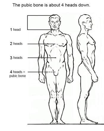 На расстоянии примерно четырех голов от макушки располагается лобковая кость