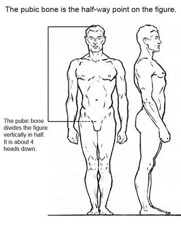 Лобковая кость делит фигуру вертикально пополам. Она находится в центре фигуры