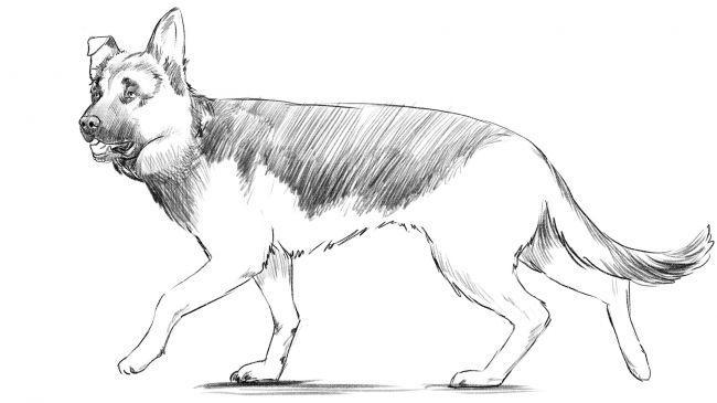 Рисуем немецкую овчарку - шаг 10