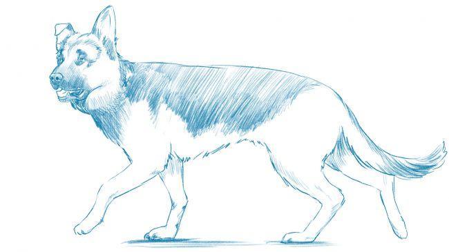 Рисуем немецкую овчарку - шаг 9