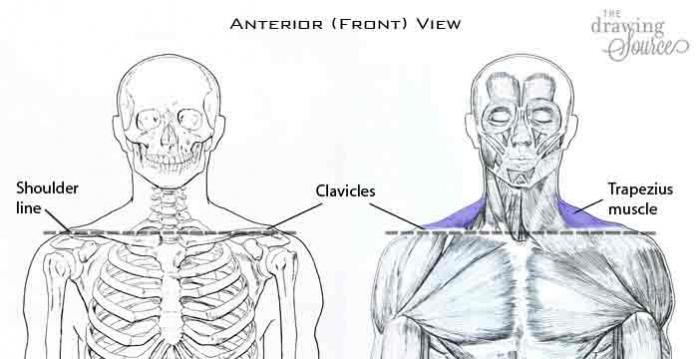 изображение мышц лица человека - вид спереди