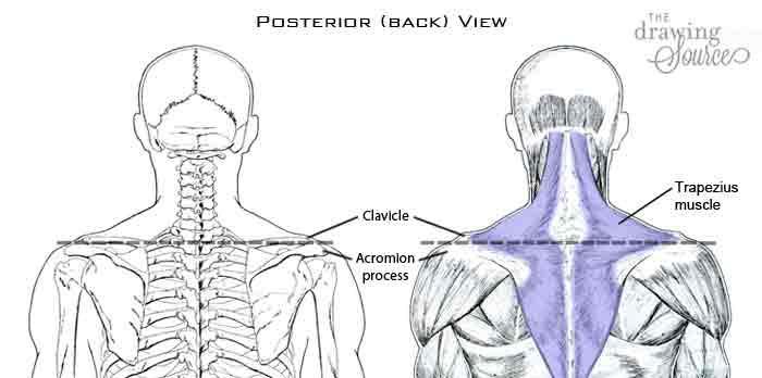 Изображение мышц лица человека - вид сзади
